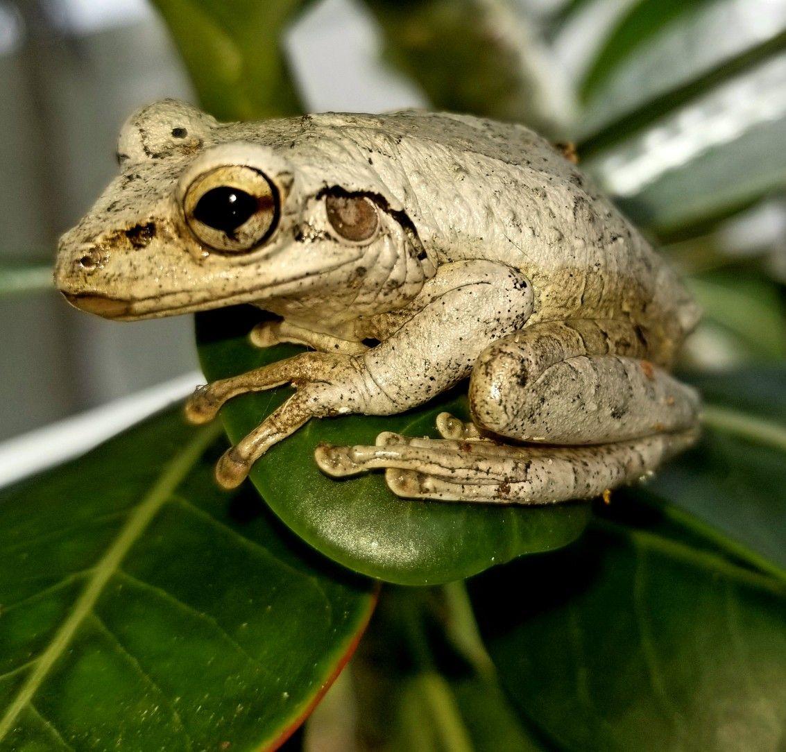 Tree Frog Lyagushka