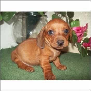 Tiny Miniature Dachshund Puppy Dachshund Puppy Miniature Dachshund Puppies Miniature Dachshund