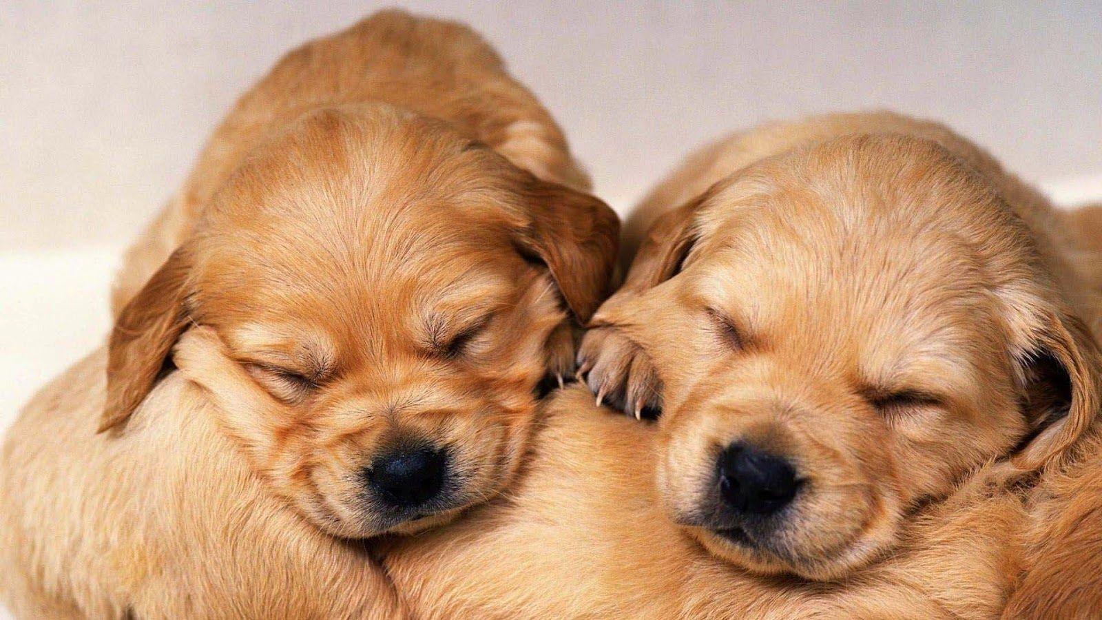 Cute Golden Retriever Puppies Wallpaper Image Retriever Puppy