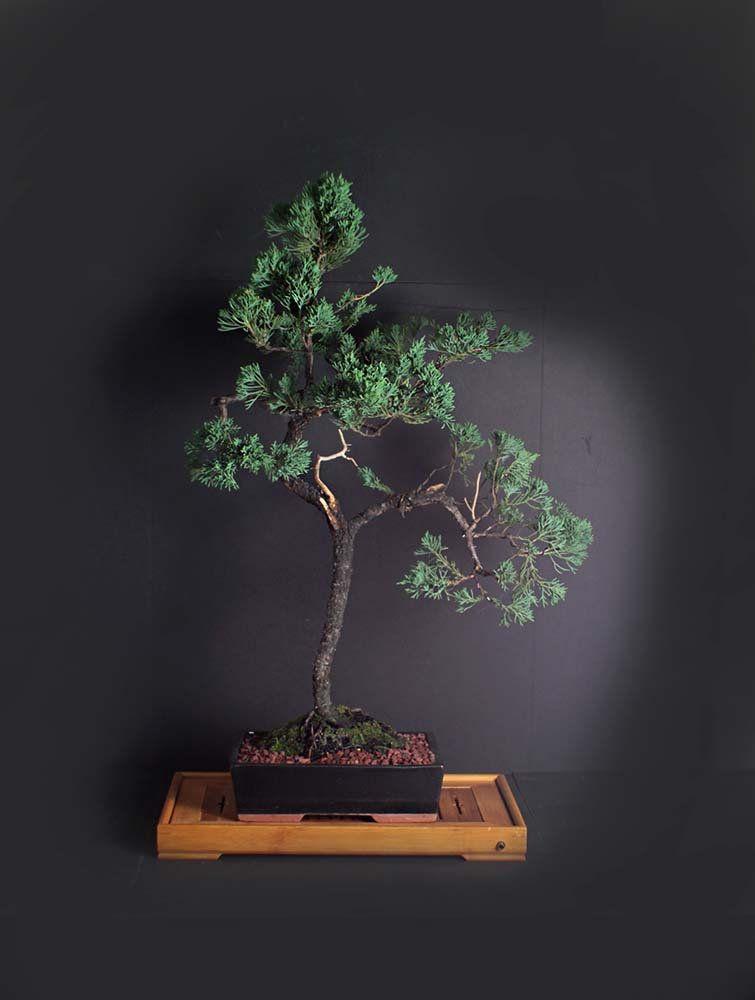Juniper Parsoni Bonsai Tree Conifer Bonsai Collection From Livebonsaitree Bonsai Tree Bonsai Tree Care Bonsai