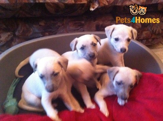 Stunning Blue Fawn Whippet Pups For Sale Swansea Swansea