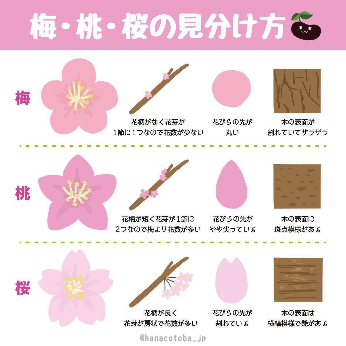 桜 違い 梅 梅・桃・桜の違いは?一目で簡単に見分ける方法!|YAKUDATIサイクル