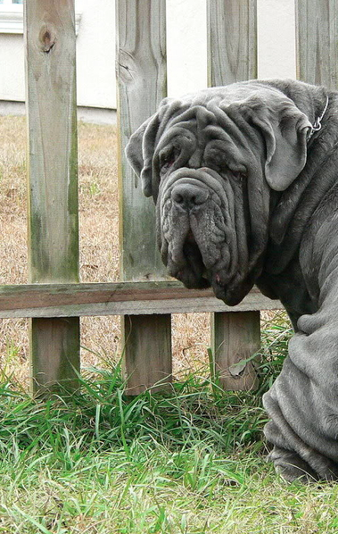 The Neapolitan Mastiff or Italian Mastiff, (Italian: Mastino Napoletano) is a large, ancient dog breed. This massive breed is often used as a guard and defender of family and property due to their protective instincts and their fearsome appearance.