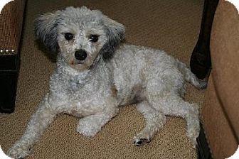 Albion Ri Poodle Toy Or Tea Cup Mix Meet William A Dog For