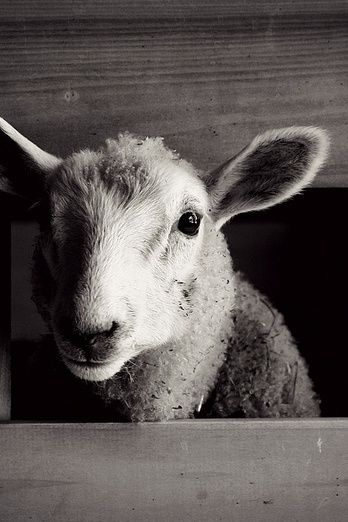 Sheep animals black and white photography