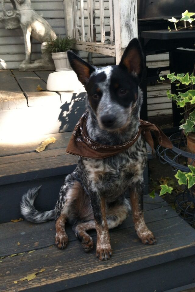 Our Annie Collectivetribe Com Many Thanks And Blessing To The Breeders At Australian Cattle Dogs R Cattle Dogs Rule Austrailian Cattle Dog Blue Heeler Puppies