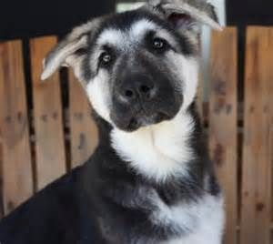 Black And Silver German Shepherd Dog Yahoo Image Search Results