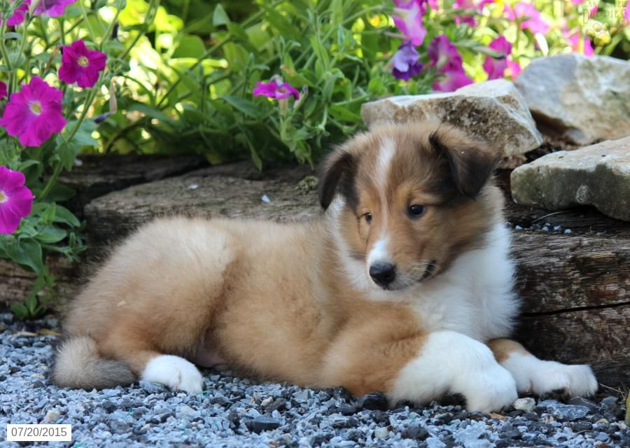 Collie Puppy For Sale In Pennsylvania Collie Puppies For Sale