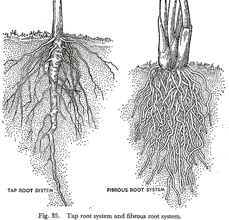 Tap Root System And Fibrous