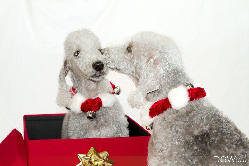 Merry Christmas Dog Photography Christmas Dog Christmas Cats Christmas Animals