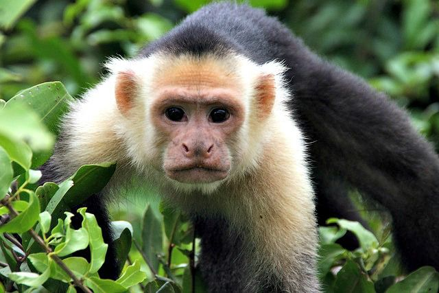 White face monkey at Palo Verde. Capuchin monkey - Cool and Interesting Facts for Kids