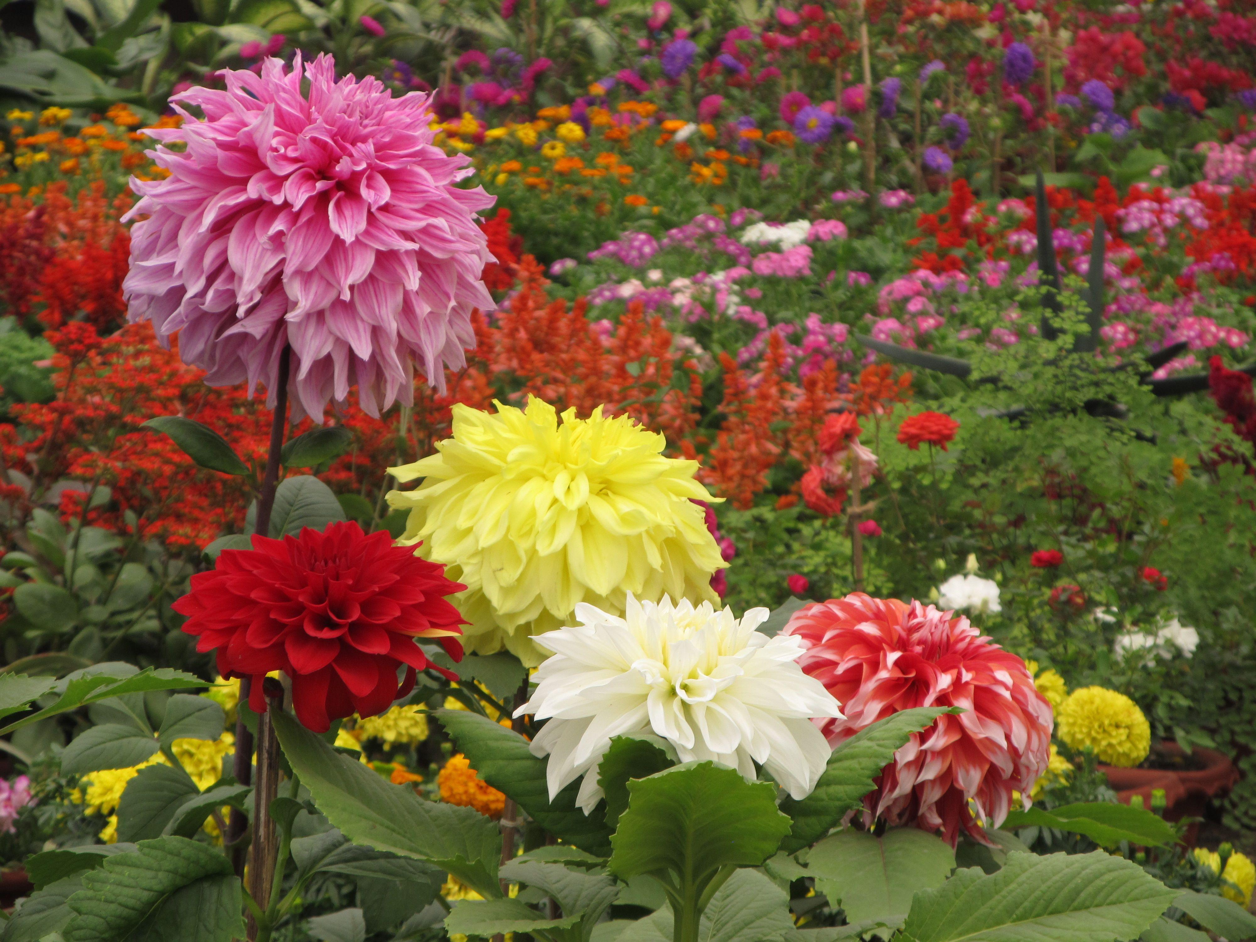 gardens of india Description Dahlia Indian Botanic Garden