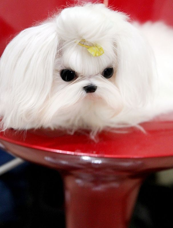 Amazing Mateo ~ Adult Male #maltese 14 months old and under 2 pounds! Fabulous Quality! Top Platinum Male Maltese! – Boutique Teacup Puppies #cuteteacuppuppies