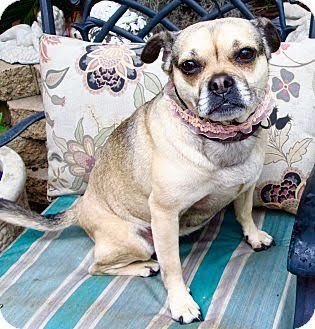 Puggle Dog For Adoption In Los Angeles Ca Adn 561452 On