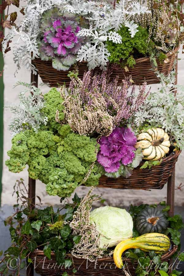 Colorful Cool season combination of cabbage, pumpkins and greens with dusty  miller.