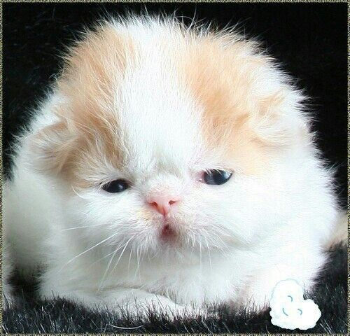 Not Sure What This Is But Doesn T It Have An Adorable Face Persian Kittens Cute Little Animals Cute Animals