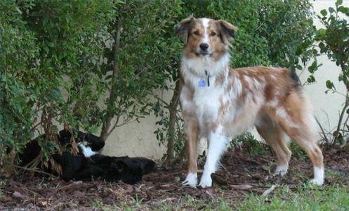 How To Groom A Lhasa Apso Australian Shepherd Dogs Australian