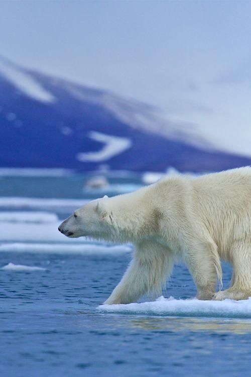 Pin auf Eisbären, Eulen &Wölfe