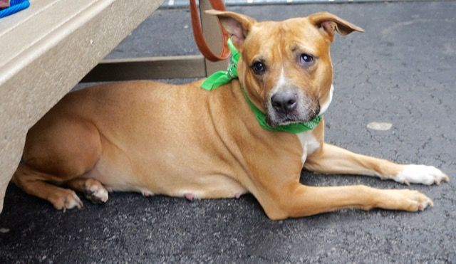MYLIE_A1068875. FEMALE, BROWN / WHITE, AM PIT BULL TER MIX, 3 yrs STRAY – STRAY WAIT, NO HOLD Reason STRAY Intake condition UNSPECIFIE Intake Date 03/30/2016, From NY 10459, DueOut Date 04/02/2016,