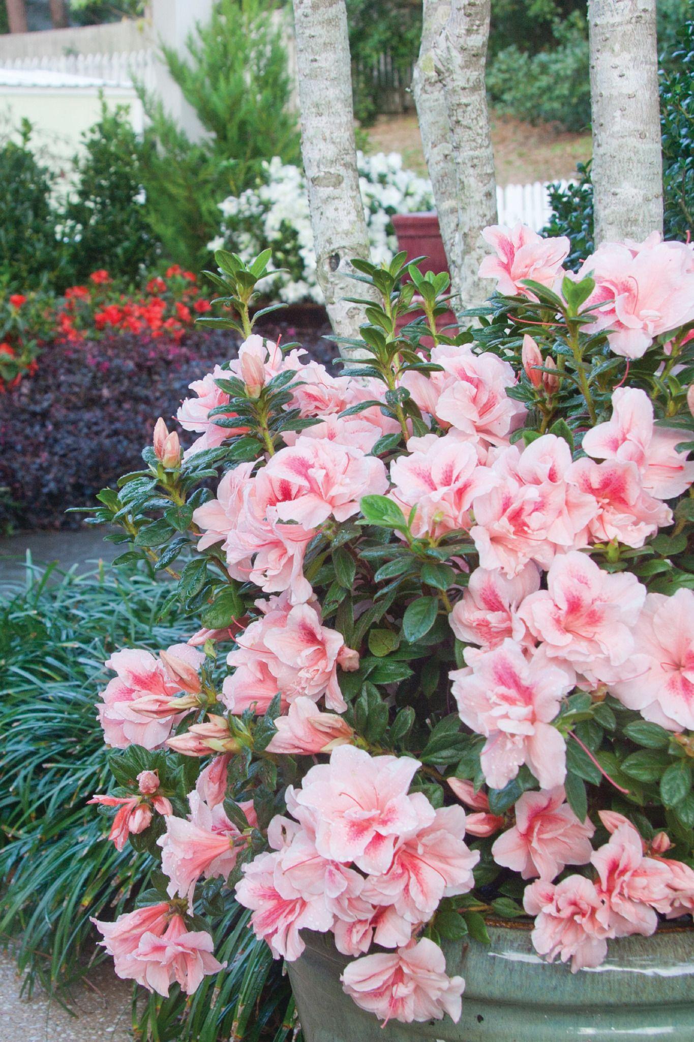 10 Best Uses For Encore Azaleas By Size Azaleas Landscaping Azaleas Garden Azaleas