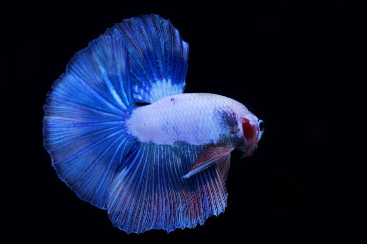 650 Betta Fish Names For All Different Types And Colors Betta Fish Betta Siamese Fighting Fish