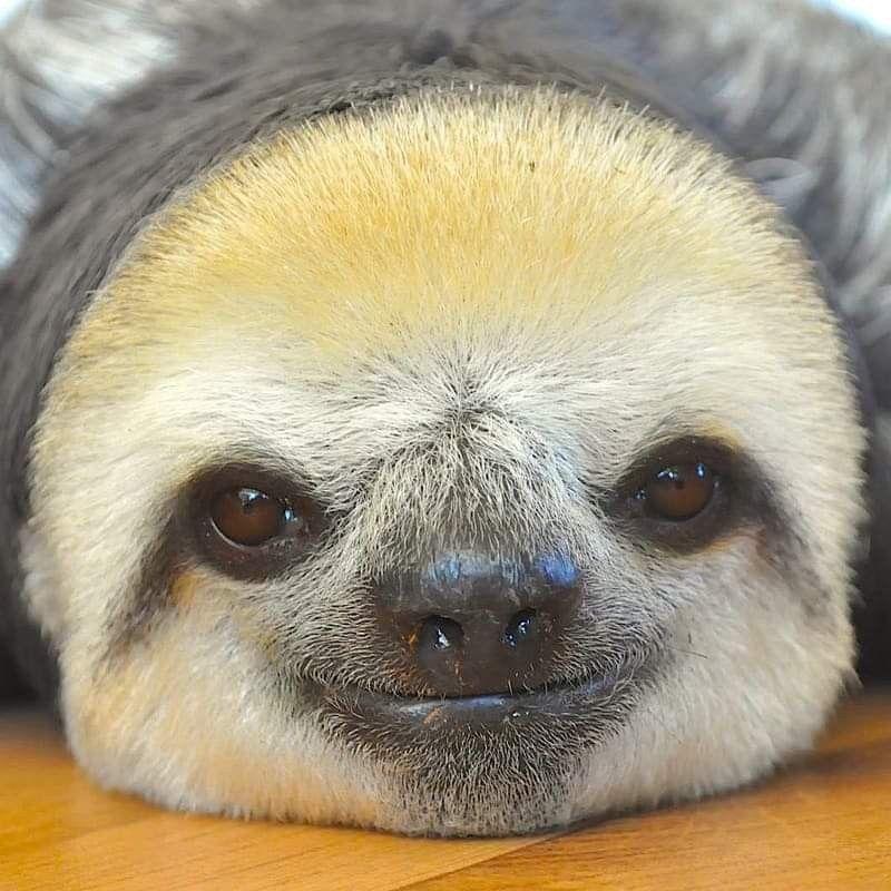 Omg Look At This Face Cute Baby Sloths Sloths Funny Sloth