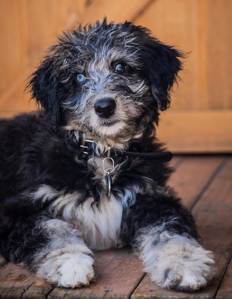 The Complete Aussiedoodle Dog Guide Breeders Pictures Puppies