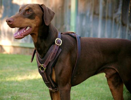 Exclusive Handcrafted Soft Padded Leather Doberman Harness