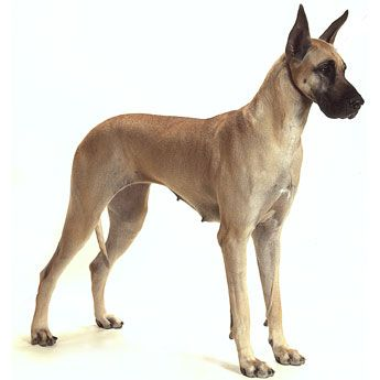 Great Dane Giant Sized Short Haired Loving Dog Who Is Dependable And Even Tempered But Does Not Have A Long Lif Great Dane Dogs Dog Breeds Medium Dog Breeds