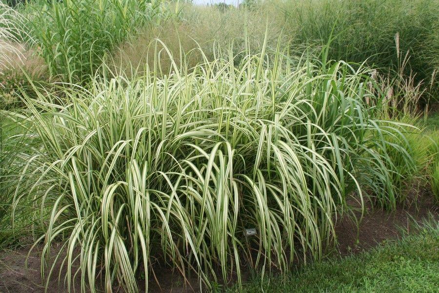 Miscanthus sinensis var condensatus cabaret grasses for Japanese ornamental grass varieties