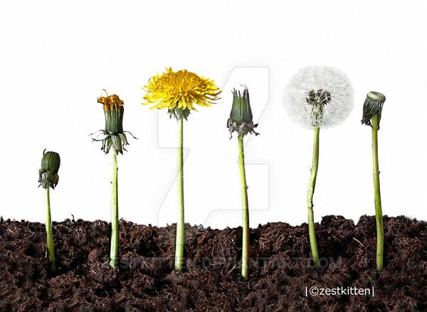Life Cycle Of A Dandelion Dandelion Flower Life Cycle Life Cycles