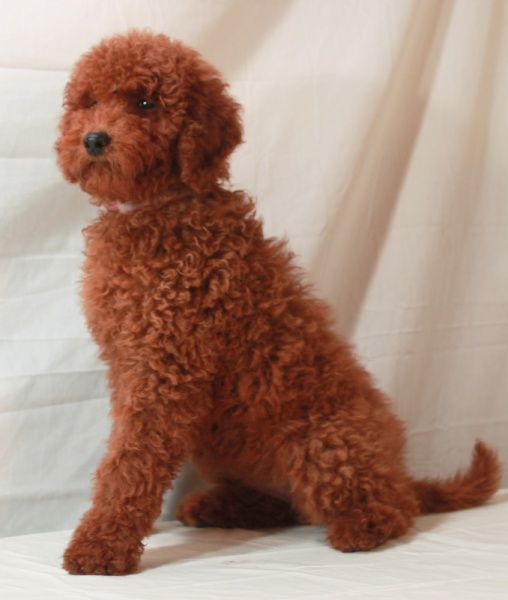 Red Moyen Poodle Small Standard Moyen Poodle Poodle Puppies