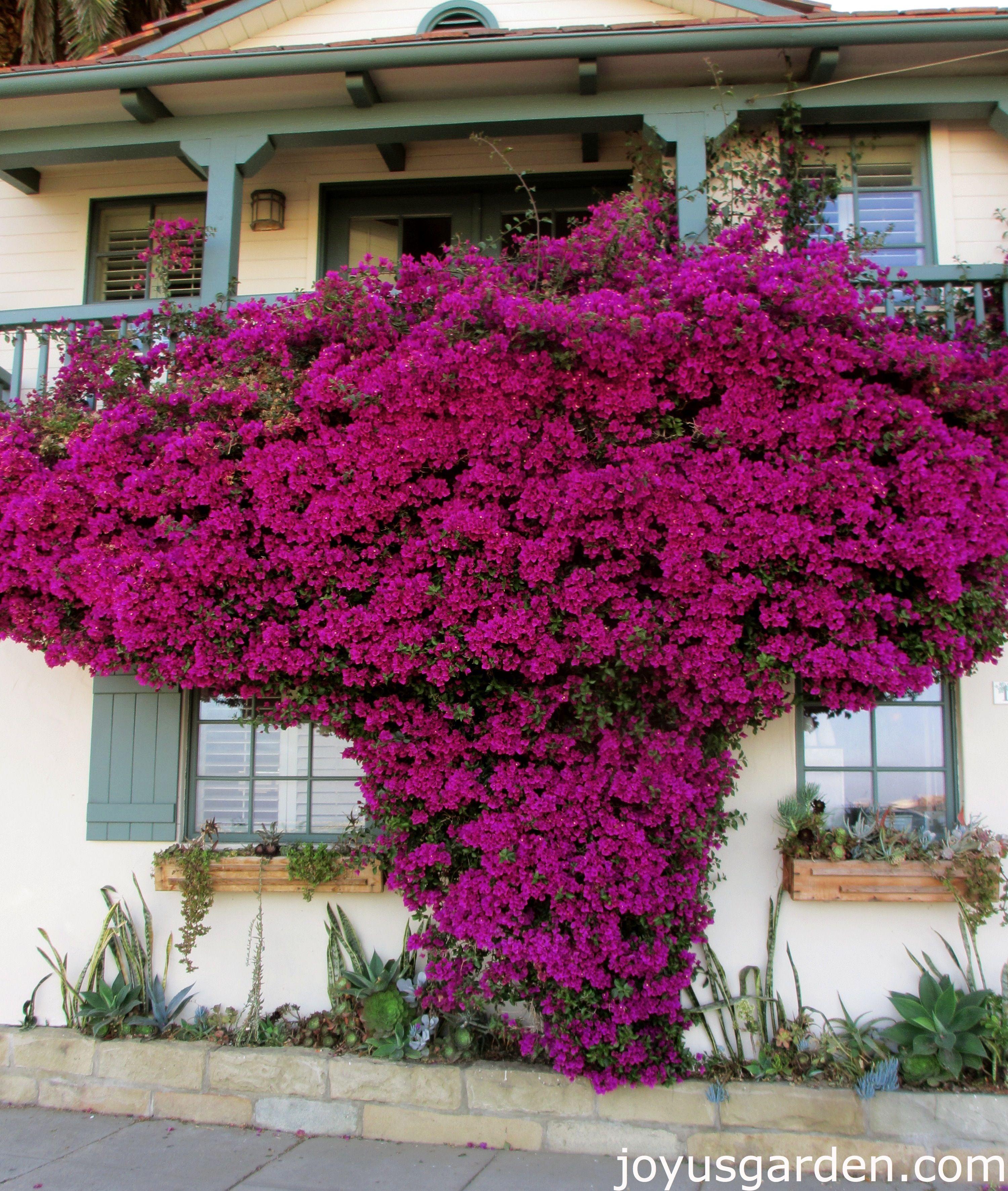 Bougainville Fleur dedans bougainvillea - talk about a splash of color! | bougainvillea