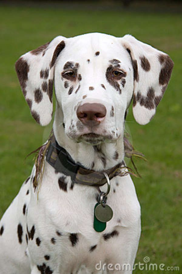 Pictures Of Dalmatian Puppies And Dogs