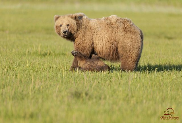 Brown Bear Cub Wants to Play | Flickr - Photo Sharing!
