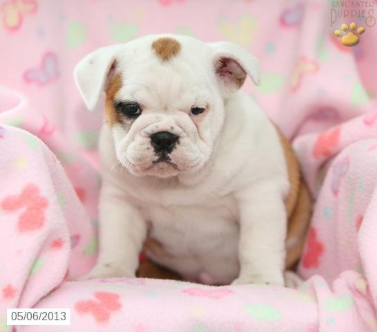 Zoe Mini Bulldog Puppy For Sale In Ronks Pa Mini Bulldog