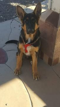 Litter Of 3 German Shepherd Dog Puppies For Sale In Hesperia Ca