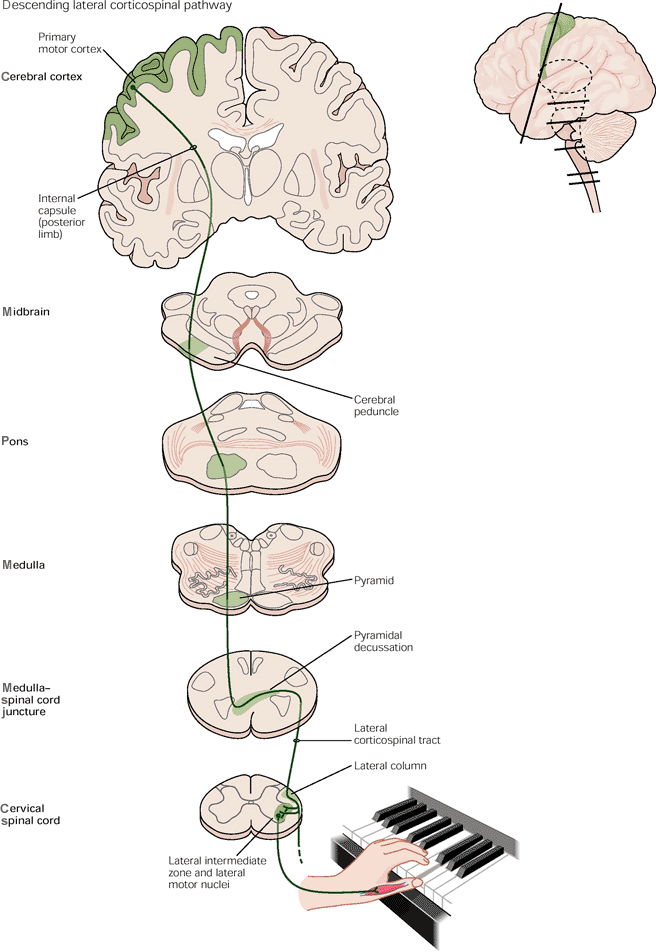 corticospinal tract | descending lateral tract from primary motor ...
