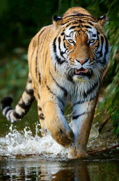 The Power Siberian Tiger Big Cats Wild Tiger