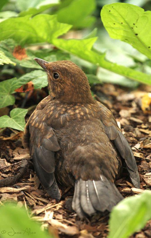 European Blackbird Juvenile Turdus Merula Black Bird