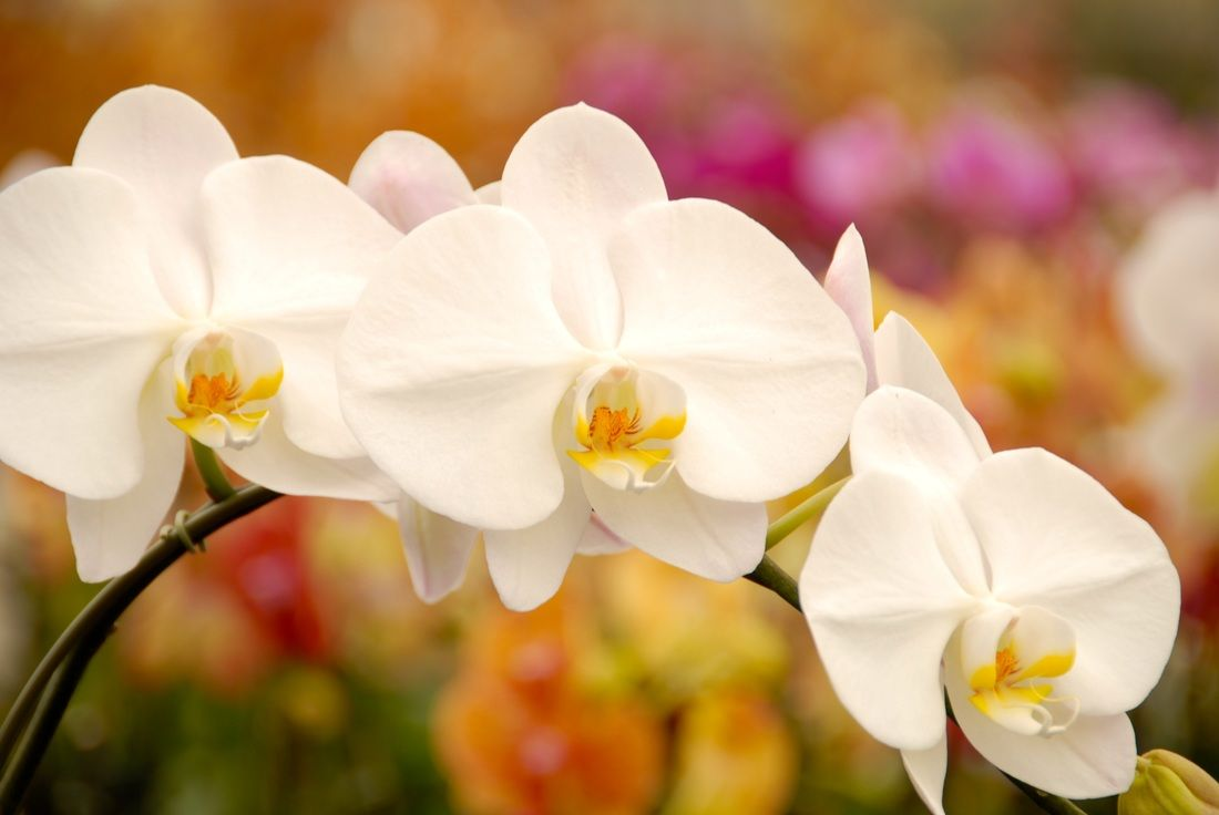 7 steps to rebloom orchids by Matsui Nursery | Orchid Care ...