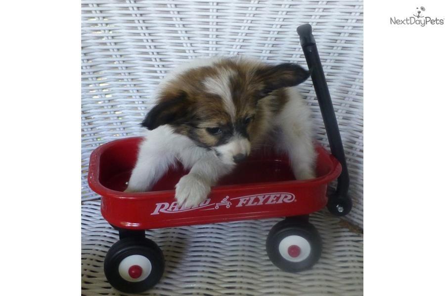 meet justin a cute papillon puppy for sale for 800 akc papillon