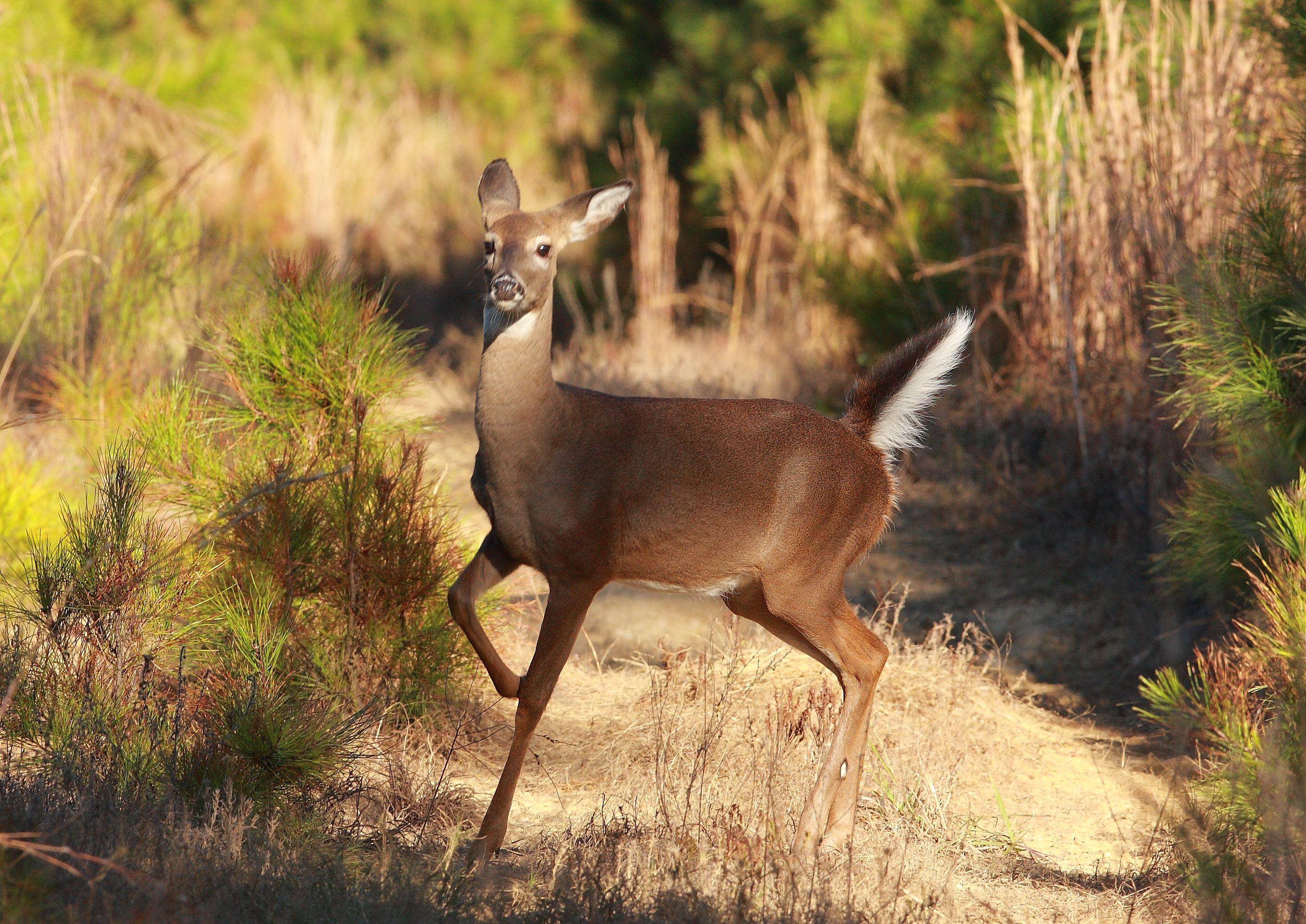 White-tailed deer | Critters I live amongst | Pinterest | White ...
