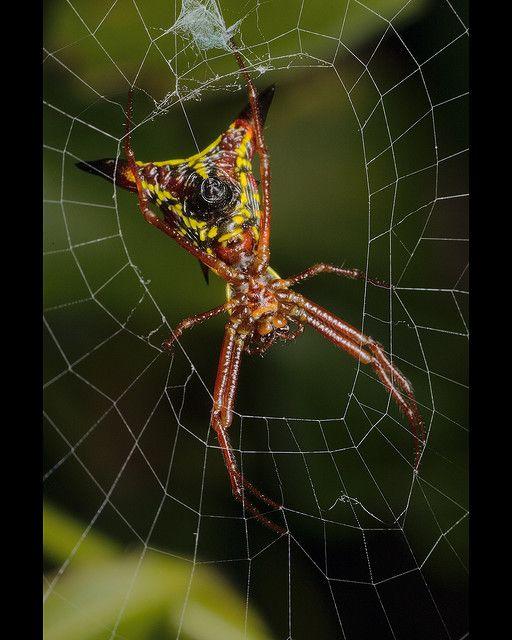 4c3dcfbe83431b05a16a6b7aefcb5186 - How To Get Rid Of Crab Spiders In Hawaii