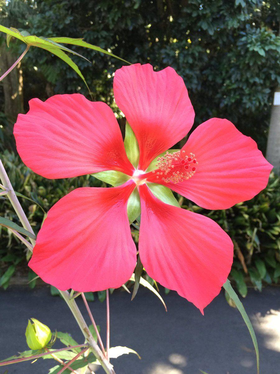 Scarlet rosemallow hibiscus coccineus plant identification scarlet rosemallow hibiscus coccineus mightylinksfo