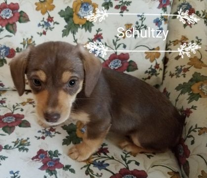 Litter Of 4 Chiweenie Puppies For Sale In Coleville Ca Adn 50965