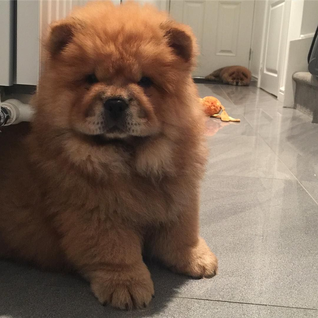 Chow Chow Cute Baby Animals Fluffy Dogs Fluffy Animals