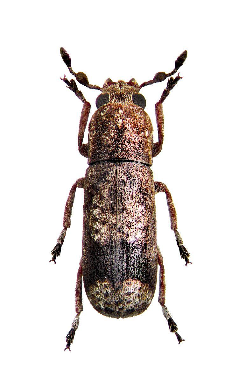 ozotomerus japonicus