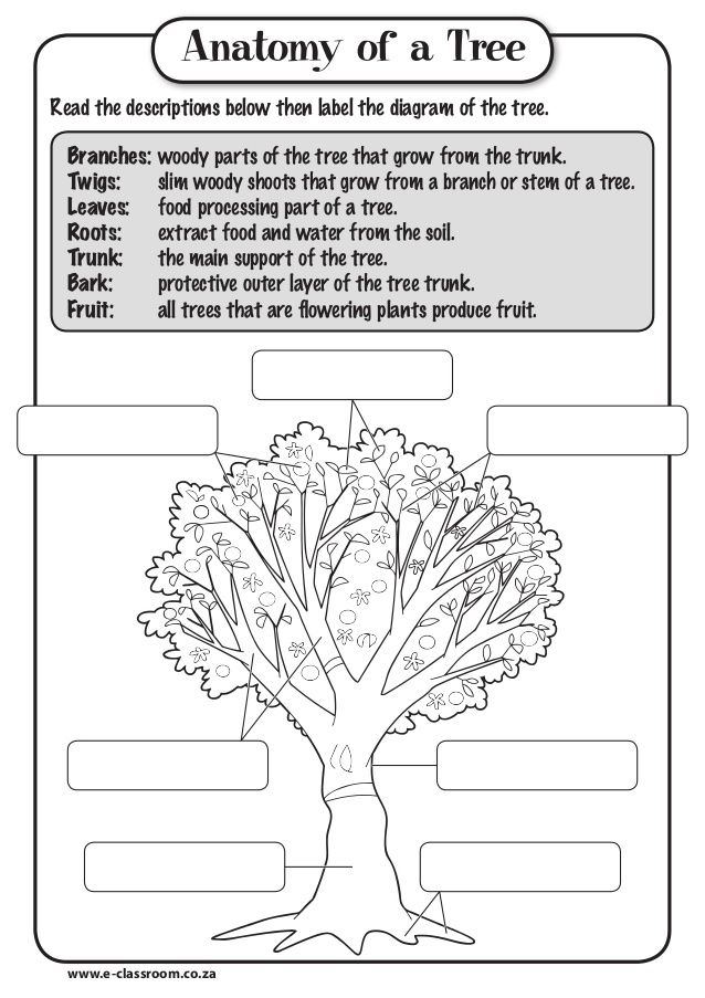 Anatomy of a TreeRead the descriptions below then label the diagram ...