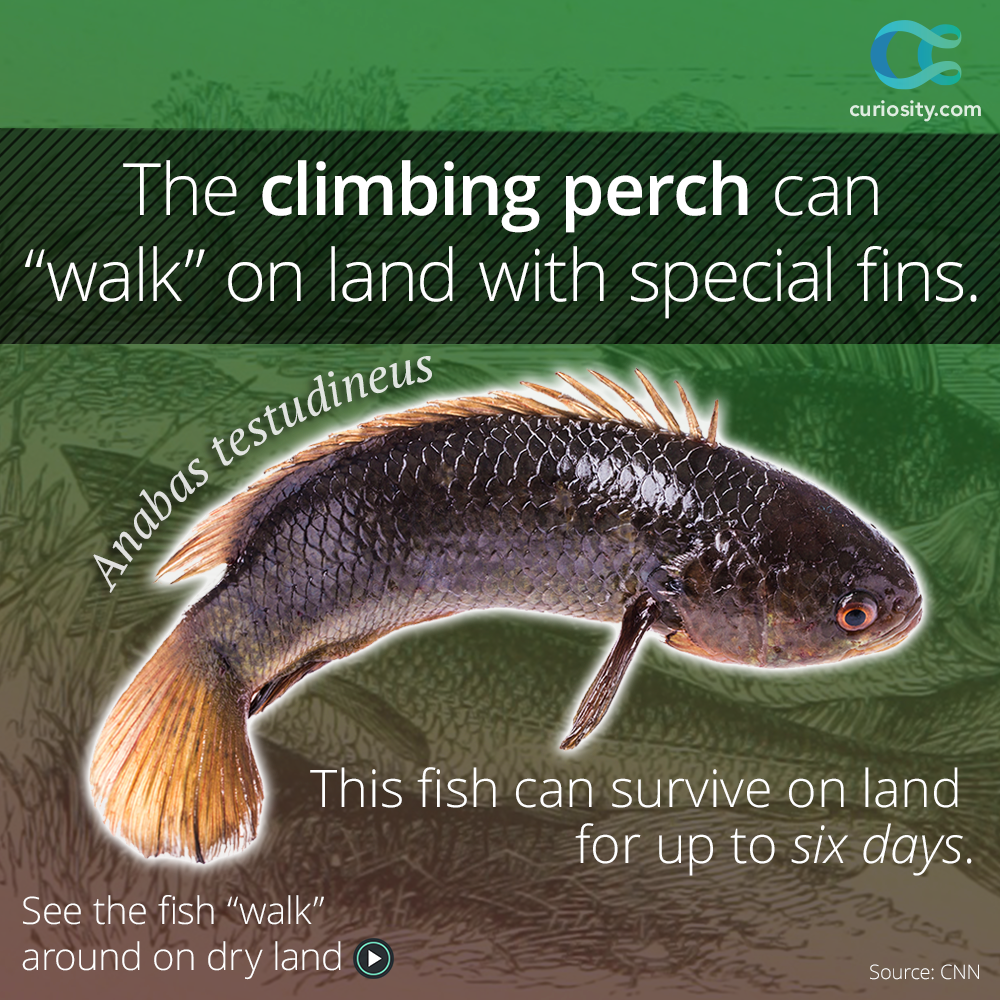The Climbing Perch Also Known As The Walking Fish Can Walk On Dry Land In Order To Reach Their Next Watery Destinatio Science Nature Fish Pose Animals Wild
